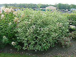 Strawberry Daiquiri Dogwood (Cornus alba 'Stdazam') at Echter's Nursery & Garden Center