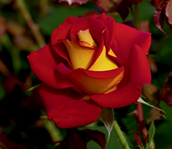 Ketchup And Mustard Rose (Rosa 'WEKzazette') at Echter's Nursery & Garden Center