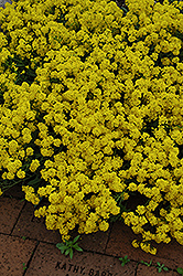 Gold Dust Basket Of Gold (Aurinia saxatilis 'Compacta') at Echter's Nursery & Garden Center