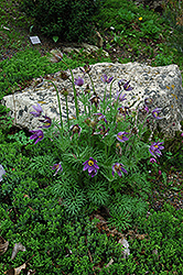 Pasqueflower (Pulsatilla vulgaris) at Echter's Nursery & Garden Center