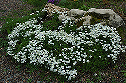 Candytuft (Iberis sempervirens) at Echter's Nursery & Garden Center
