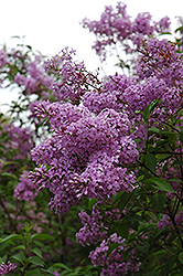 Chinese Lilac (Syringa x chinensis) at Echter's Nursery & Garden Center