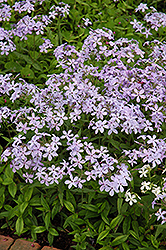 Woodland Phlox (Phlox divaricata) at Echter's Nursery & Garden Center