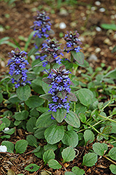 Caitlin's Giant Bugleweed (Ajuga reptans 'Caitlin's Giant') at Echter's Nursery & Garden Center
