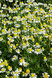 Chamomile (Matricaria recutita) at Echter's Nursery & Garden Center