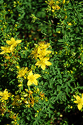 St John's Wort (Hypericum perforatum) at Echter's Nursery & Garden Center