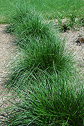 Tufted Hair Grass (Deschampsia cespitosa) at Echter's Nursery & Garden Center