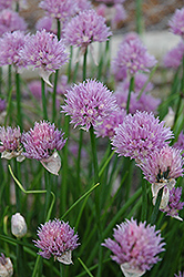 Chives (Allium schoenoprasum) at Echter's Nursery & Garden Center