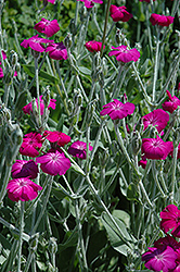 Rose Campion (Lychnis coronaria) at Echter's Nursery & Garden Center