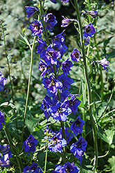Black Knight Larkspur (Delphinium 'Black Knight') at Echter's Nursery & Garden Center