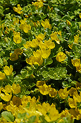 Creeping Jenny (Lysimachia nummularia) at Echter's Nursery & Garden Center