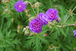 Double Cranesbill (Geranium himalayense 'Plenum') at Echter's Nursery & Garden Center