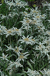 Alpine Edelweiss (Leontopodium alpinum) at Echter's Nursery & Garden Center