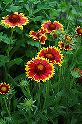 Goblin Blanket Flower (Gaillardia x grandiflora 'Goblin') at Echter's Nursery & Garden Center