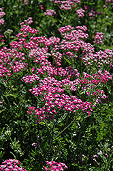 Cerise Queen Yarrow (Achillea millefolium 'Cerise Queen') at Echter's Nursery & Garden Center