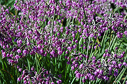 Nodding Onion (Allium cernuum) at Echter's Nursery & Garden Center