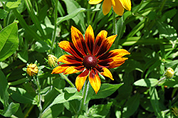 Rustic Colors Coneflower (Rudbeckia hirta 'Rustic Colors') at Echter's Nursery & Garden Center