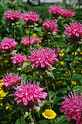 Marshall's Delight Beebalm (Monarda 'Marshall's Delight') at Echter's Nursery & Garden Center