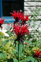 Jacob Cline Beebalm (Monarda 'Jacob Cline') at Echter's Nursery & Garden Center
