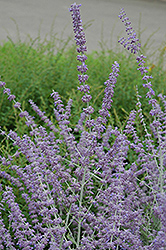 Russian Sage (Perovskia atriplicifolia) at Echter's Nursery & Garden Center