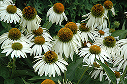 White Swan Coneflower (Echinacea purpurea 'White Swan') at Echter's Nursery & Garden Center