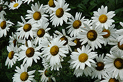 Alaska Shasta Daisy (Leucanthemum x superbum 'Alaska') at Echter's Nursery & Garden Center