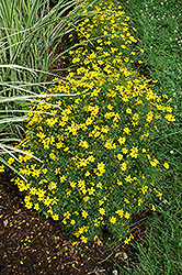 Zagreb Tickseed (Coreopsis verticillata 'Zagreb') at Echter's Nursery & Garden Center
