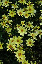 Creme Brulee Tickseed (Coreopsis 'Creme Brulee') at Echter's Nursery & Garden Center