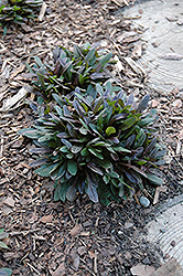 Chocolate Chip Bugleweed (Ajuga reptans 'Chocolate Chip') at Echter's Nursery & Garden Center