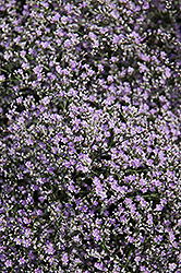 Sea Lavender (Limonium latifolium) at Echter's Nursery & Garden Center