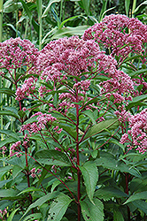 Joe Pye Weed (Eupatorium maculatum) at Echter's Nursery & Garden Center