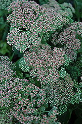 Autumn Joy Stonecrop (Sedum 'Autumn Joy') at Echter's Nursery & Garden Center