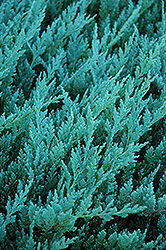 Blue Chip Juniper (Juniperus horizontalis 'Blue Chip') at Echter's Nursery & Garden Center