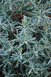 Blue Ice Bog Rosemary (Andromeda polifolia 'Blue Ice') at Echter's Nursery & Garden Center