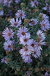 Woods Blue Aster (Aster 'Woods Blue') at Echter's Nursery & Garden Center