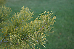 Scotch Pine (Pinus sylvestris) at Echter's Nursery & Garden Center