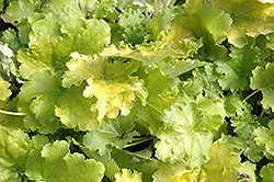 Lime Rickey Coral Bells (Heuchera 'Lime Rickey') at Echter's Nursery & Garden Center