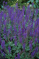 May Night Sage (Salvia x sylvestris 'May Night') at Echter's Nursery & Garden Center