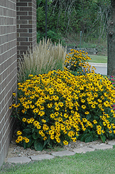 Goldsturm Coneflower (Rudbeckia fulgida 'Goldsturm') at Echter's Nursery & Garden Center