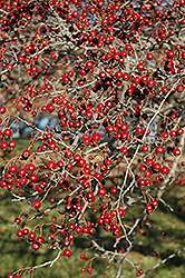 Russian Hawthorn (Crataegus ambigua) at Echter's Nursery & Garden Center