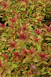Goldflame Spirea (Spiraea x bumalda 'Goldflame') at Echter's Nursery & Garden Center