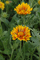 Oranges And Lemons Blanket Flower (Gaillardia x grandiflora 'Oranges And Lemons') at Echter's Nursery & Garden Center