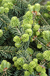Dwarf Balsam Fir (Abies balsamea 'Nana') at Echter's Nursery & Garden Center