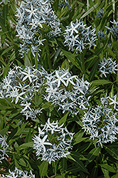 Blue Star Flower (Amsonia tabernaemontana) at Echter's Nursery & Garden Center
