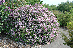 Dwarf Korean Lilac (Syringa meyeri 'Palibin') at Echter's Nursery & Garden Center