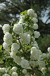 Snowball Viburnum (Viburnum opulus 'Roseum') at Echter's Nursery & Garden Center