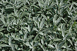 Silver King Artemesia (Artemisia ludoviciana 'Silver King') at Echter's Nursery & Garden Center