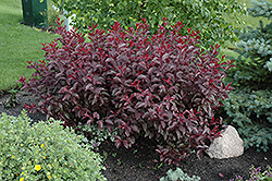 Purpleleaf Sandcherry (Prunus x cistena) at Echter's Nursery & Garden Center