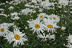 Shasta Daisy (Leucanthemum x superbum) at Echter's Nursery & Garden Center