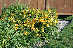 Stella D'Oro Daylily (Hemerocallis 'Stella D'Oro') at Echter's Nursery & Garden Center